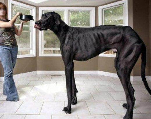¡El perro más grande del mundo!