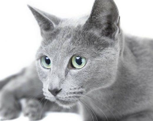 ¿Sabes cuántas razas de gatos existen?