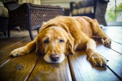 ¡Las enfermedades de tus perros!