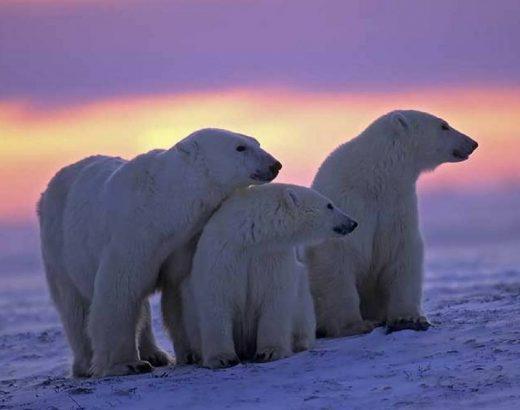 ¡Osos polares ahora gastan más energía!