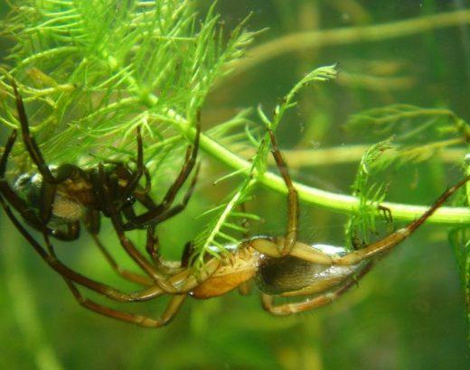 ¿Cómo respiran las arañas bajo el agua?