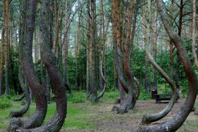 ¡Conoce el bosque de árboles torcidos!