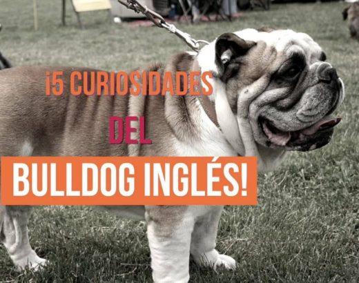 ¡5 curiosidades del bulldog inglés!
